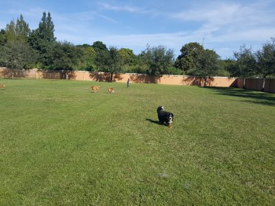 Dogs enjoying the 2 acre play fields