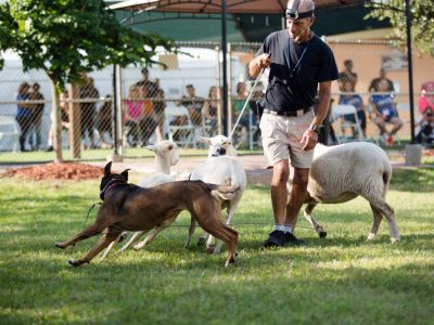 A training instructor showing how to train a herding dog with three sheep