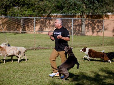 Cesar Milan showing how to train your dog. He is surrounded by many dogs and a few sheep