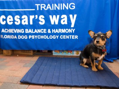 "A small black and tan dog sitting on a mat next to a sign that says ""Training Cesar's way"""