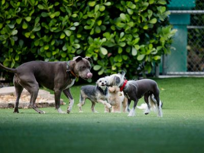 A group of four dogs playing together