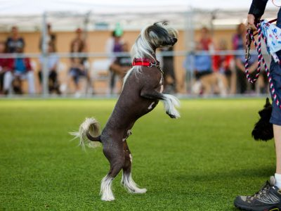 A Chinese Crested Dog standing on his hind legs while being trained