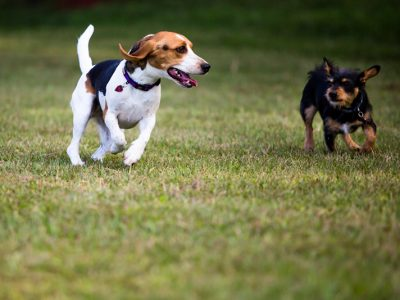 A black, white and tan Beagle running next to a small black and tan dog through the grass