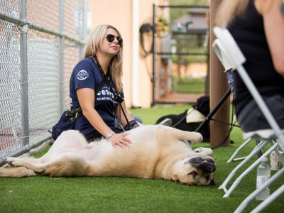 A pet owner giving her giant beige and black English Mastiff belly rubs