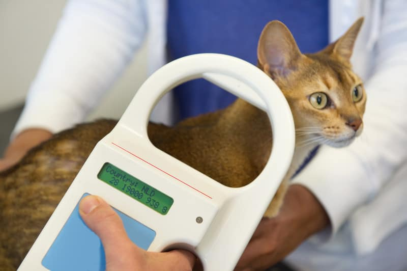 A person checking the microchip number of a sandy colored cat with green eyes