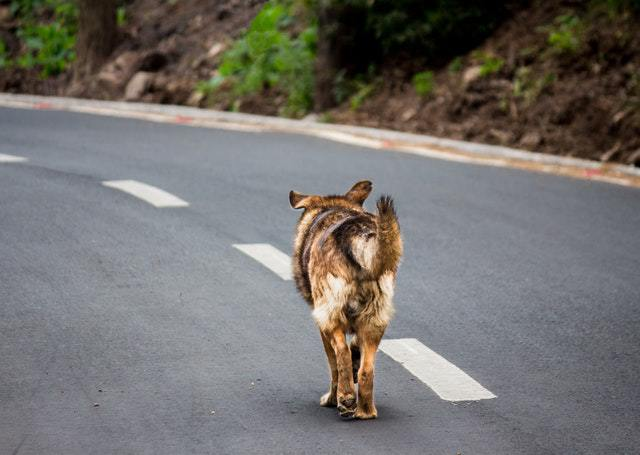 A black and brown dog walking along the asphalt away from the camera