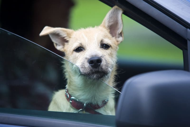 A beige and black wire-haired puppy sticking his head out of a car