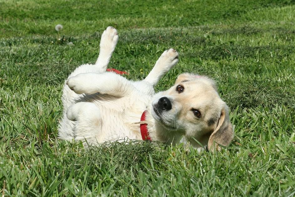 A white and beige dog named Odie on his back rolling happily in the grass