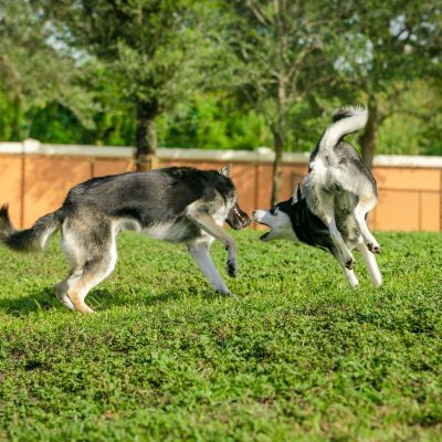 Two grey and white dogs playing together