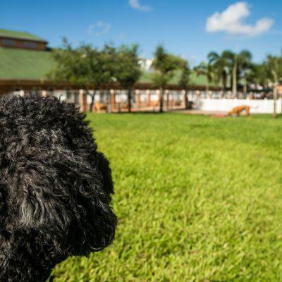A black poodle looking over the doggie daycare