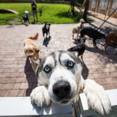 A black and white husky looking at the camera over the fence