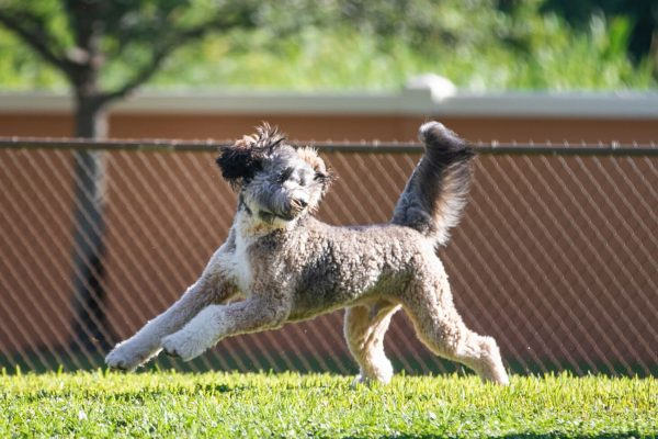 A grey and white labradoodle running in the grass