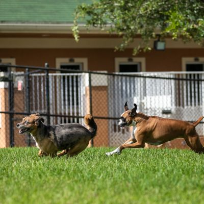 A tan and white boxer chasing a grey and tan other dog