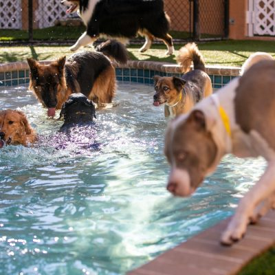 A bunch of dogs playing in a pool
