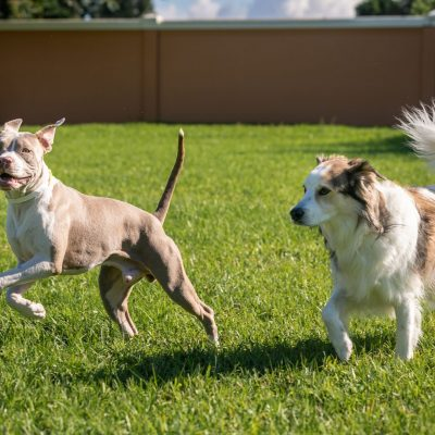 Two dogs running in a field. One is a grey and white pittbull the other is a white and brown herding dog